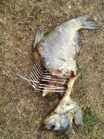 Dead bream at Three Mills days before Open East festival: photo @mableygreener