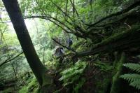 Moss-ridden woods and ferns of the ancient forest in the valley of Mt. Kariwang-san