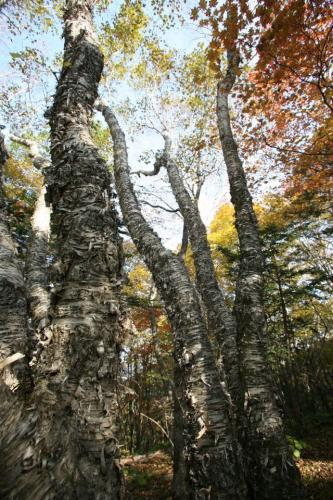 "The giant ""Wangsasure,"" the signature wood species in Mt. Kariwang-san"